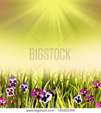 Colorful bright flowers pansies. Floral background. Summer.