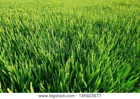 Rice paddy plants field plantation in europe.