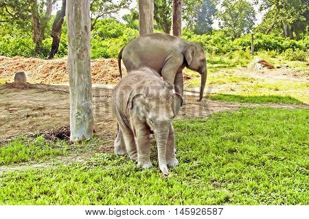 Elephants on the farm at Chitwan nation park in Nepal