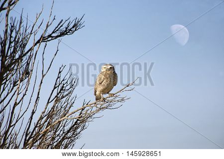 Burrowing owl perched on a bush , below the moon