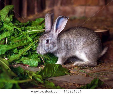 Gray rabbit eating the fresh leaves of dandelion
