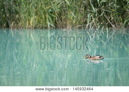 baby duck swims from right to left before grass reeds on lriver