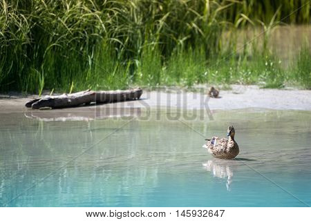 mother duck sits in water while baby waits in grass on sandbank