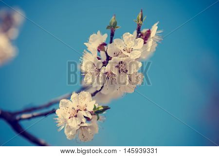 Flowering cherry on a background of blue sky on a sunny day.