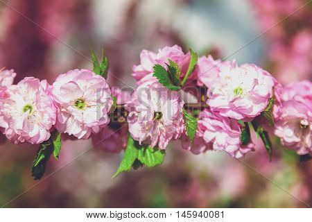 Flowering branch with pink flowers on a bright sunny spring day.