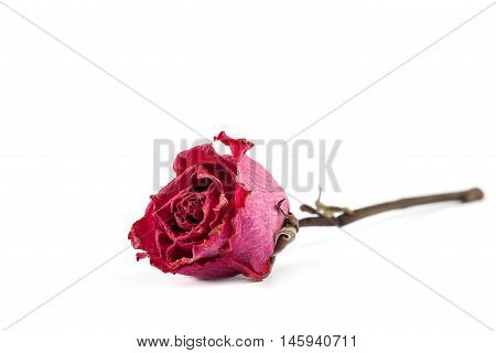 Dry red rose isolated on white background.