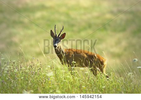 wild roebuck looking at camera ( Capreolus )