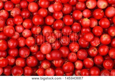 Close up of red ripe Lingonberry (Vaccinium vitis-idaea)