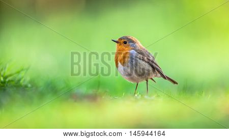 Robin On Bright Green Background