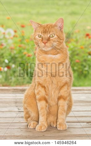 Ginger tabby cat sitting on wooden porch, with summer garden background
