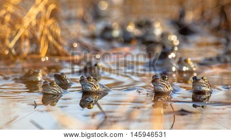 Group Of Common Frogs