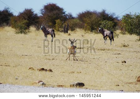 Wild Animals Of Africa: Gazelle Defecating