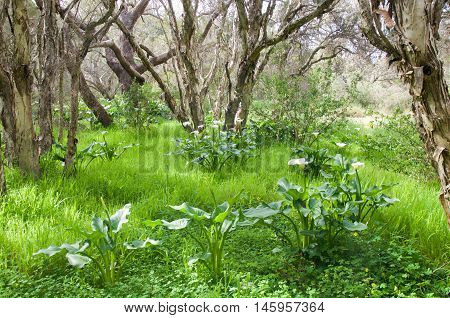 Wild calla lily flowering plants and paperbark trees in the lush landscape in Bibra Lake reserve in Western Australia.