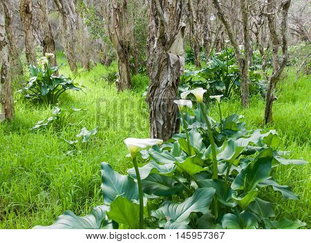 Bibra Lake reserve with wild calla lily flowering plants, tall green grass and paperbark treed landscape in Western Australia.
