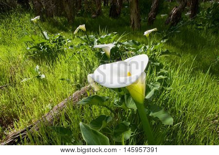 White calla lily flowers growing in natural grassy bushland reserve in Bibra Lake, Western Australia.