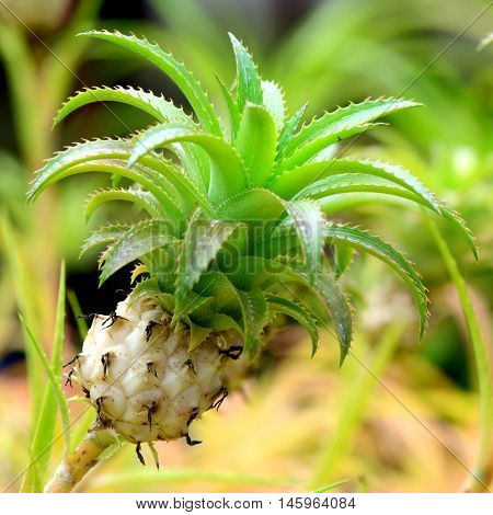 Tiny pot pineapple garden on natural background.