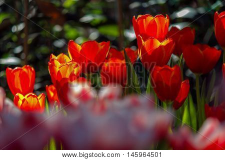 colorful field of tulips in the morning light. very beautiful tulips in bloom and smell spring. Colorful tulip garden