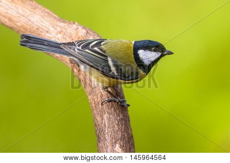 Great Tit On Green Background