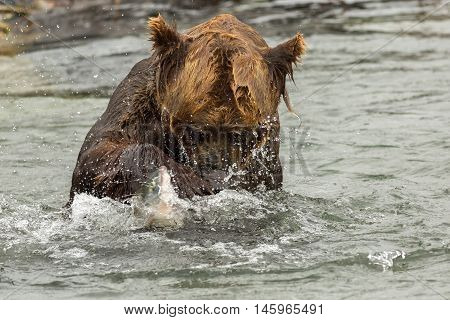 Brown bear trying to catch a fish on Kurile Lake. Southern Kamchatka Wildlife Refuge in Russia.