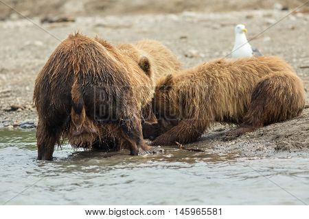 Brown bear divides caught fish with cubs. Kurile Lake in Southern Kamchatka Wildlife Refuge in Russia.