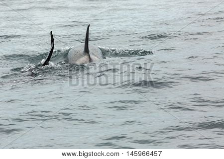 Couple of Killer Whales in the Pacific Ocean. Water area near Kamchatka Peninsula.