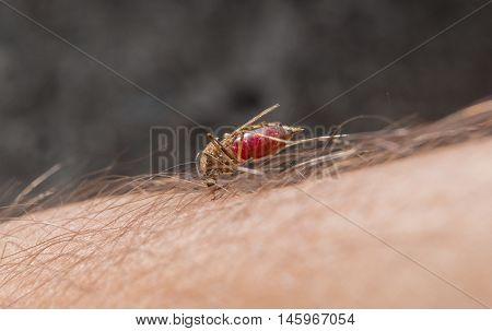 Macro of biting mosquito on the human skin