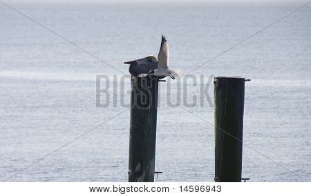 Seagull Flying Past Pelican On Post
