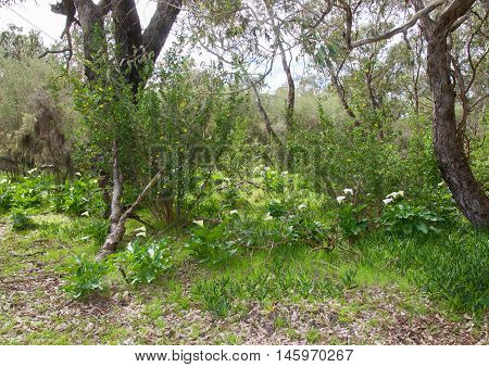 White calla lily flowers growing wild in natural bushland landscape in Bibra Lake, Western Australia.