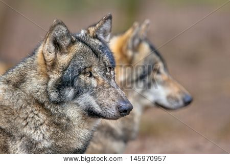 Portrait Of Two Resting Grey Wolfs