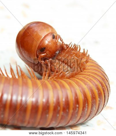 The true face and eye of millipede