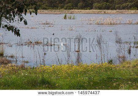 Large white heron wading in the wetland lake waters in Bibra Lake, Western Australia.