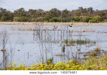 Shelducks in flight over the peaceful wetland lake landscape with treed border and yellow wildflowers under an overcast sky in Bibra Lake, Western Australia.