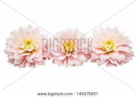 Studio Shot of White Color Dahlia Isolated on White Background.