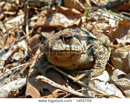 Far-Eastern Toad (Bufo Gargarizans) 4