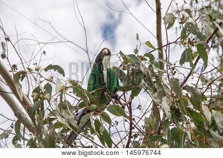 Curious green, blue and yellow Australian Ringneck parrot in tree branches with an overcast sky in Bibra Lake reserve in Western Australia.