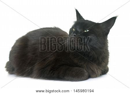 maine coon cat in front iof white background