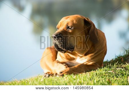 Boerboel Dog By The River