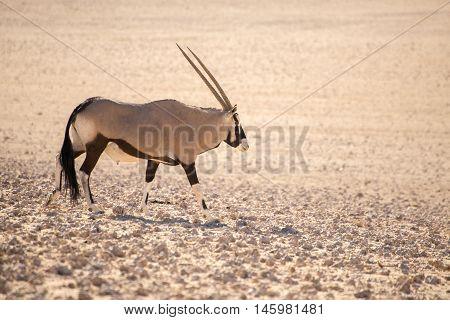 Oryx Walking Along In Desert