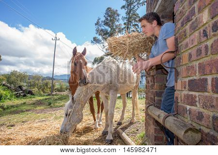 A teenager boy throws hay out in to the air as he feeds two horses some hay outside of the stables.