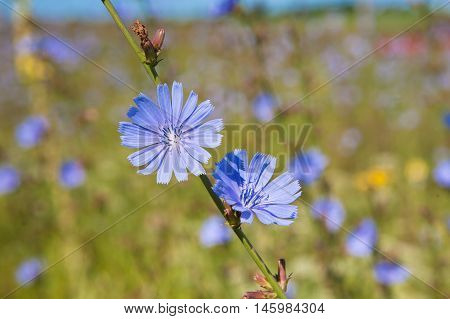 Blue chicory herb in the summer field, closeup. Beautiful flower of organic useful plant. The root of this vegetable is used in farming to make coffee alike drink