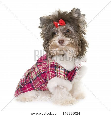 dressed puppy biro yorkshire terrier in front of white background