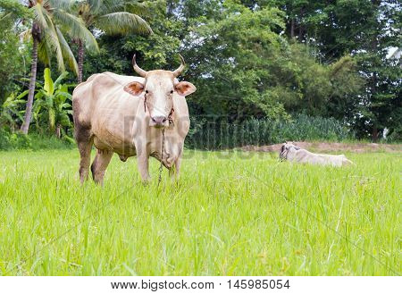 Brown cow eating grass and white cow in the background.