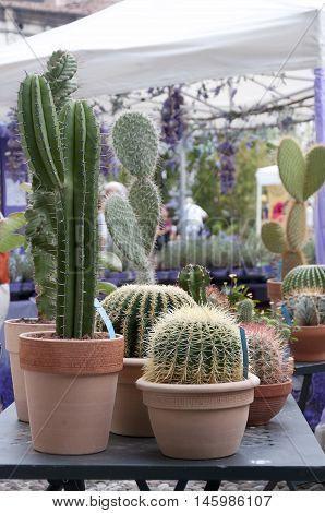 cactus flower in flowerpot in a flower shop