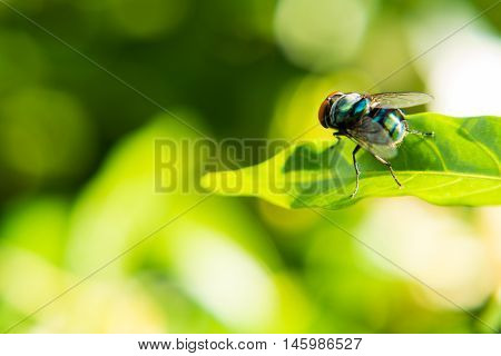 Fly caught on a green leaf in sun shine morning