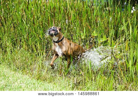 Brindle and fawn boxer dog frolicking and splashing in swamp