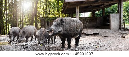 Panorama With Wild Boars