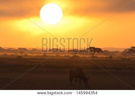 Sunset in Amboseli Kenya. Silhouettes of gnu walking in front of the sun. Horizontal shot