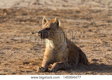 Young hyena laying on the ground in Masai Mara Kenya