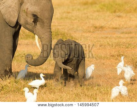 Mother and baby elephants eating grass in Amboseli National Park Kenya