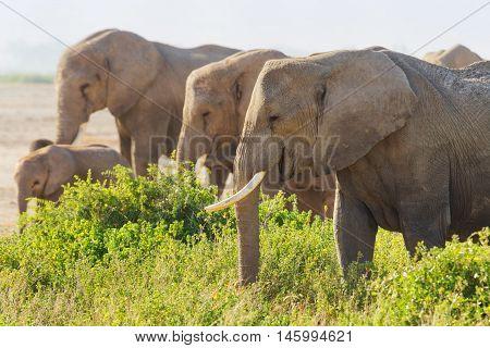 Group of elephants feeding with grass in Amboseli National park Kenya